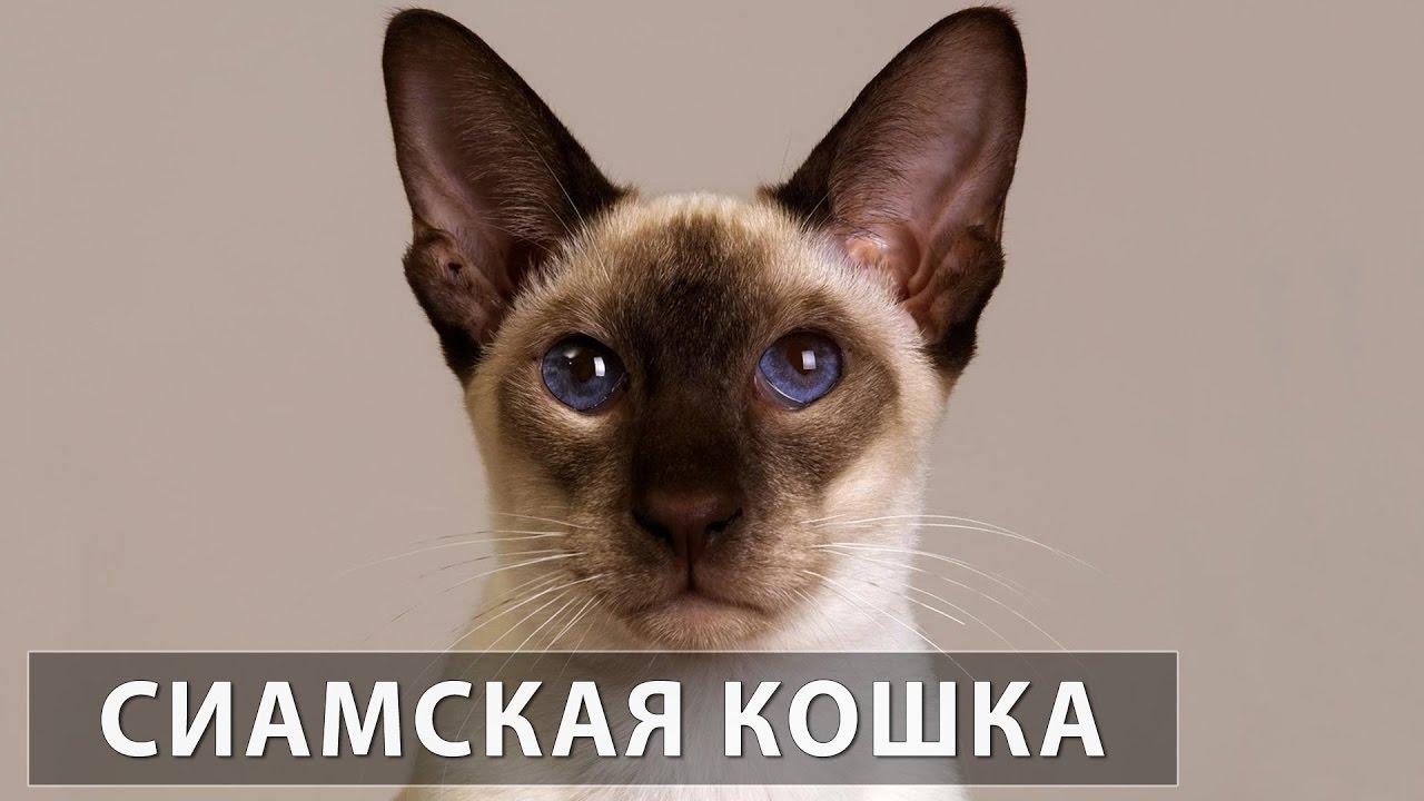 порода кошек сиамская фото