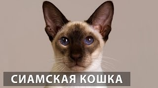 Порода кошек. Сиамская кошка.Одна из самых популярных пород в мире
