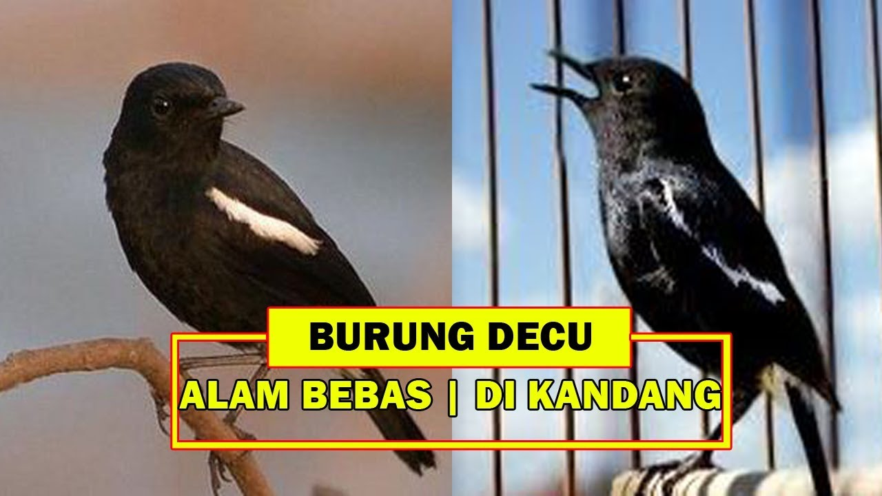 Beda Suara Burung Decu Di Alam Bebas Dan Di Dalam Kandang Youtube