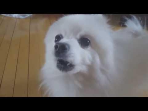 serbia-dog-|-gabe-the-dog-vs-serbia-strong