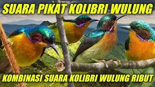Download SUARA PIKAT KOLIBRI WULUNG | KOMBINASI SUARA KOLIBRI WULUNG RIBUT