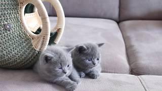 Смешные британские котята играют с сумкой - коты и кошки 2019 - приколы с котами и про котов