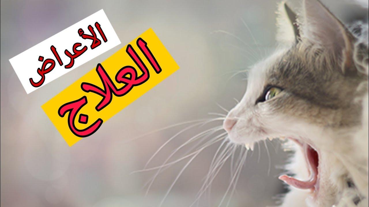 الرشح الزكام العطس عند القطط Youtube