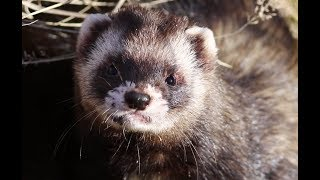 European Polecat hunting and resting in wildlife (from very close)