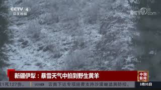 [中国新闻] 新疆伊犁:暴雪天气中拍到野生黄羊 | CCTV中文国际