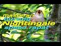 Suara Burung Nightingale Di Alam Gacor  Mp3 - Mp4 Download