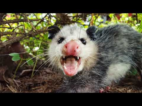 Top 7 Amazing Opossum Facts!!