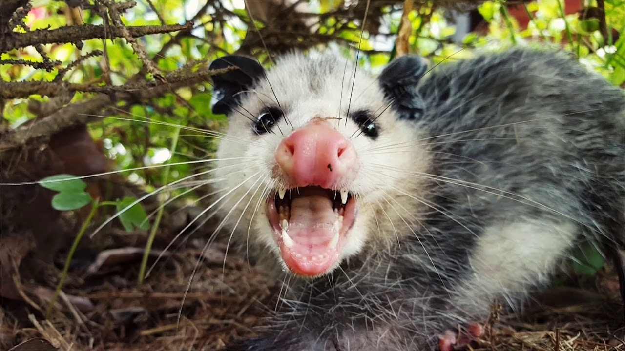 Opossum found living in 7-year-old's bedroom for 3 days
