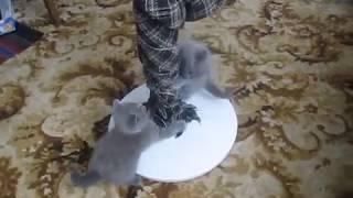 Британские котята мальчик и девочка