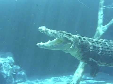 Swimming with a hungry Crocodile or Is it an Alligator?