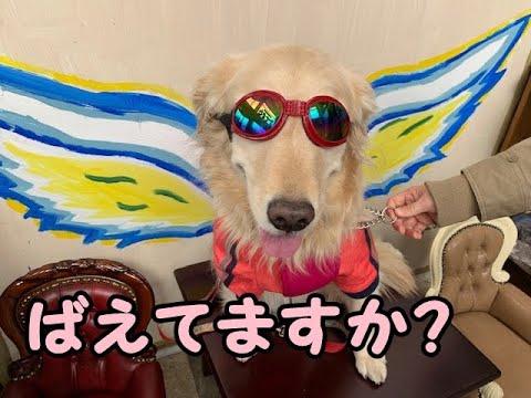 【短編集】突撃&ゴロスリはセットです!ゴールデンレトリバーのはっち