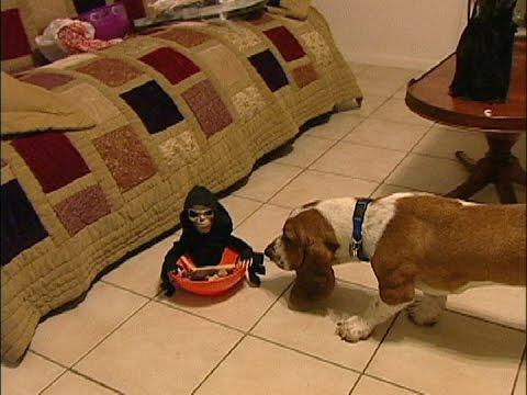 Basset Hound Halloween Scare!