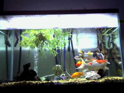 Koi and goldfish in a 150 gallon tank youtube for Koi und goldfisch