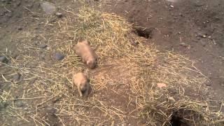 Луговые собачки США