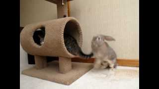 Bunny attacks cat