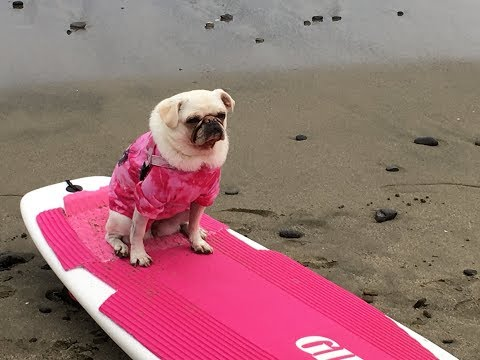 Dogs Surfing | Pacifica Dog Surf Competition