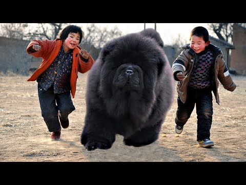 10 ECLECTIC CHINESE DOG BREEDS