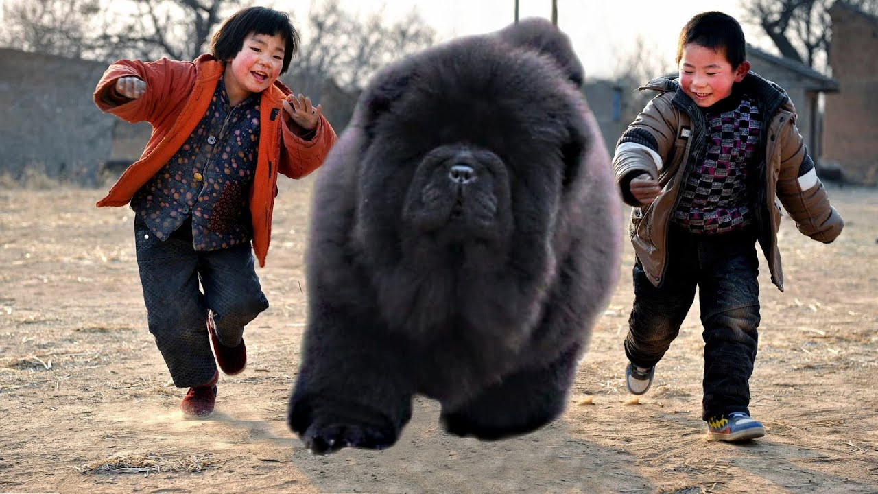 10 ECLECTIC CHINESE DOG BREEDS - YouTube