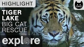 Andy the Tiger Plays Around - Big Cat Rescue Live Cam Highlight 10/20/17