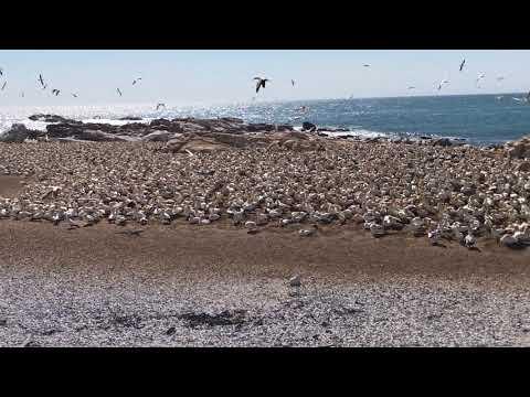 Gannets at Lambert's Bay