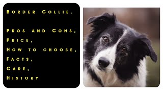 Border Collie. Pros and Cons, Price, How to choose, Facts, Care, History