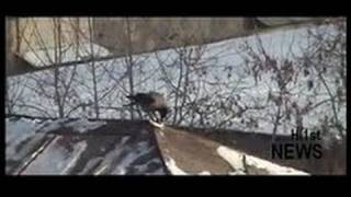 Russian Crow Rooftop Snowboarding bird roof-surfin