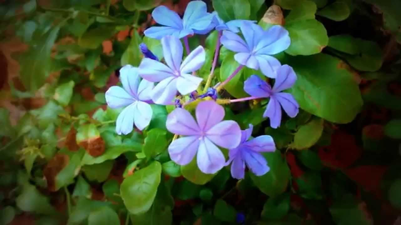 Beautiful Flowers In Sri Lanka Youtube