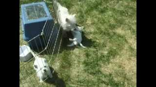 Westie Puppy Betsy Playing With Her Mom, Claraugh - West Highland White Terriers Playing Cute