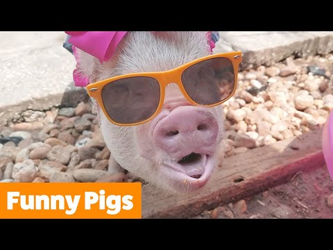 Cutest Silly Pigs | Funny Pet Videos