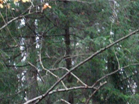 """""""Sciurus carolinensis"""" climbing"""