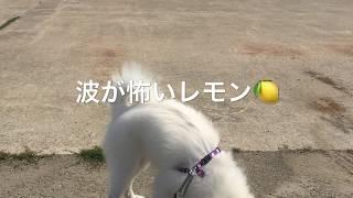 わたちレモン  <波が怖いなー> 犬種は日本スピッツ Japanese Spitz 初...