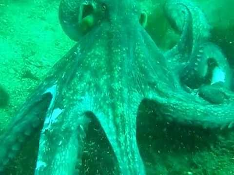 Octopus attacks scuba diver - YouTube