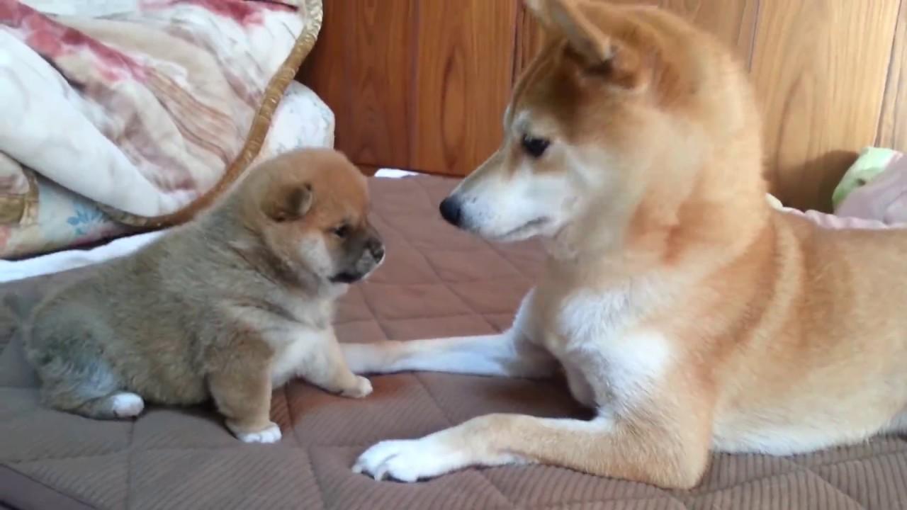 柴犬の赤ちゃん 燐五(りんご)