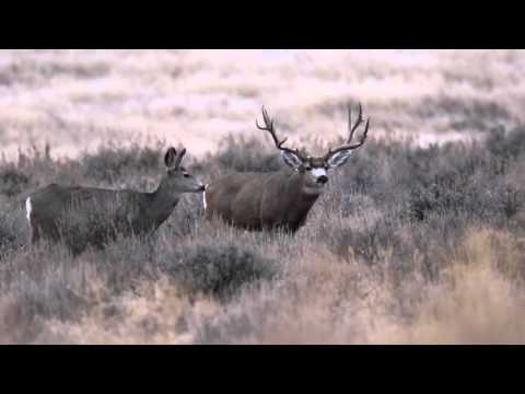 Wyoming Mule Deer - The Love Story