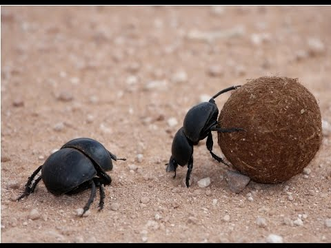Amazing Facts About Dung Beetles