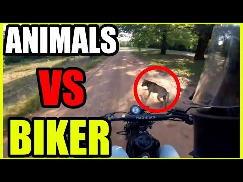 Motorcycle crash - animal attack