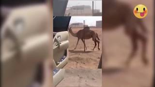 The best one i've seen😂😂#animal version 😜😜😜😜Animals doing the KEKE challenge compilation🔥