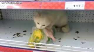 Кошка в магазине ест курицу