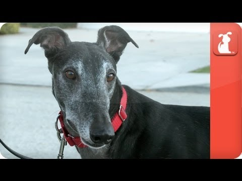 Magilla the High Prey Greyhound - Tails of Hope