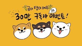 30만 구독자 너무 감사하시바 [시바견곰이탱이여우]