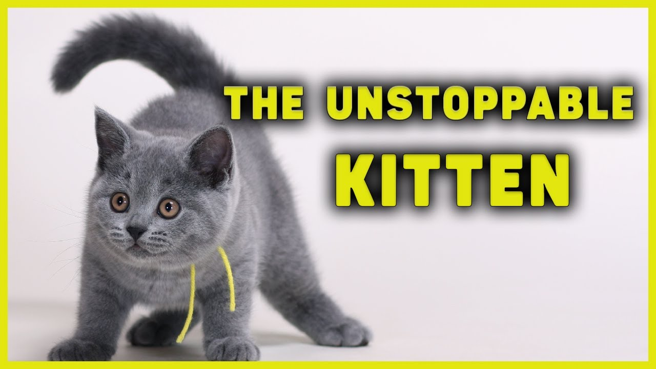 🔥The Unstoppable Kitten Takes down her Mom | Funny Cats videos | Blue British Shorthair Cat & Kitten