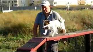 Дрессировка собак Джек-рассел-терьер, (Элементы ОКД и ЗКС) г. Одесса, пос. Котовского.