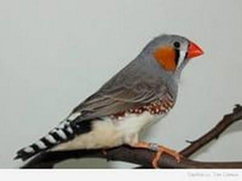 #Амадины - проверка гнезд, или о том как не нужно держать птицу