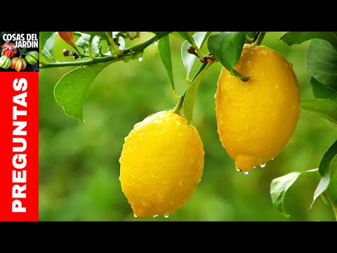 Top 10 preguntas sobre limoneros- Regar Podar Fertilizar Caida de frutos  Cuidados Invierno Mace