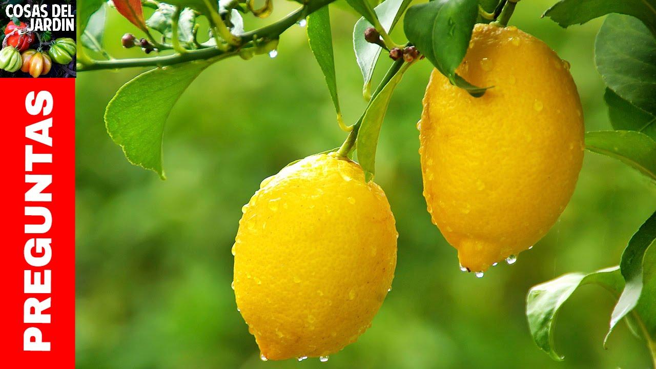 e594cc9d TOP TEN QUESTIONS ABOUT LEMON TREES - WATERING, PRUNING, FERTILIZING, FRUIT  DROP & MORE (EN ESPAÑOL)