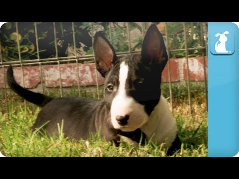 Bull Terrier Puppies - Puppy Love