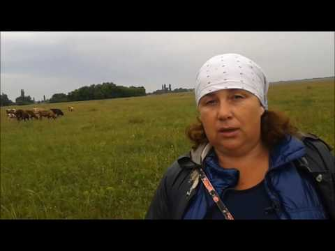 Как пасти коров