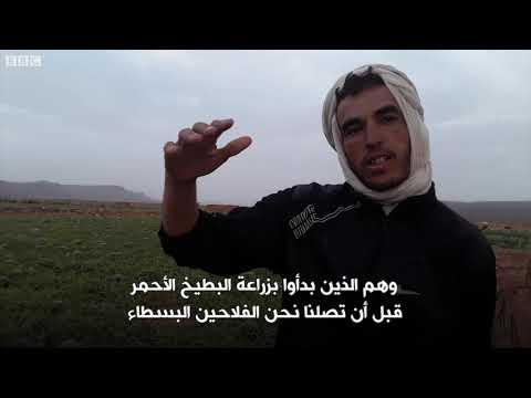 أنا الشاهد: زراعة البطيخ الأحمر في أعماق الصحراء المغريية  - 11:54-2019 / 1 / 12
