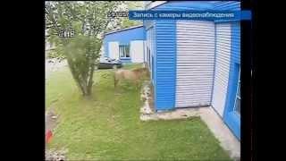 Конь-дебошир бьет стекла зданий в Колпашево из-за несчастной любви