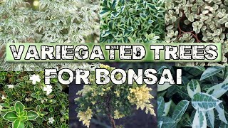 Variegated Trees for Bonsai